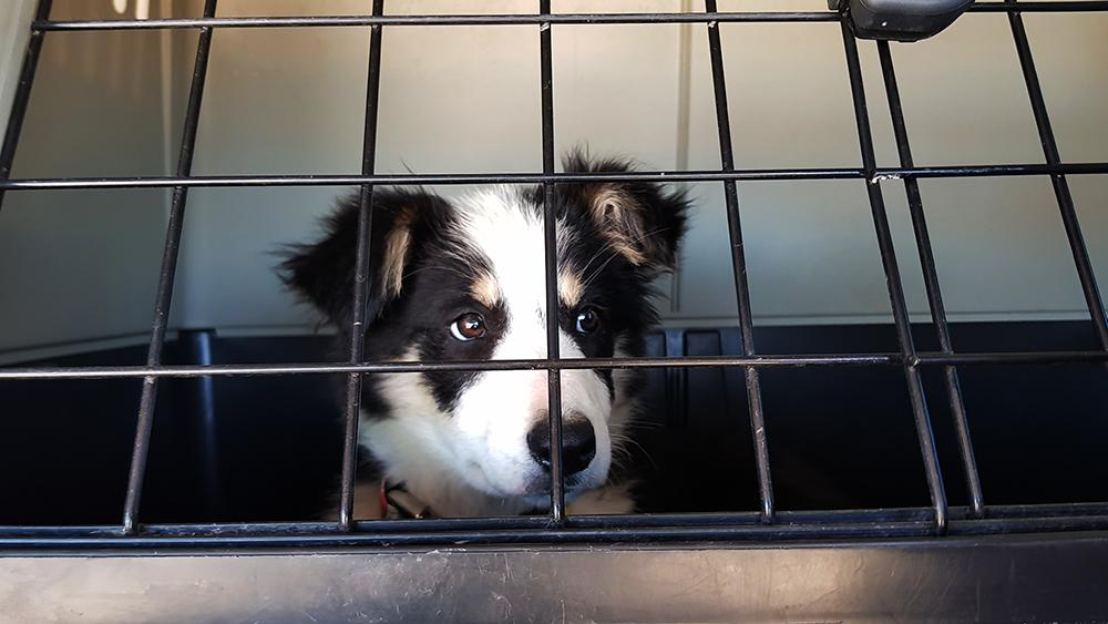 Beneficios de acostumbrar a nuestro perro a un Transportin